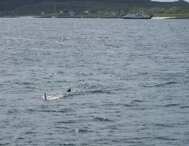 Iona shark