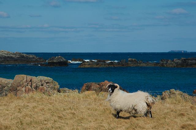 Iona sheep